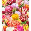 Tulipan MEGAMIX 100 sztuk. ze wszystkich odmian